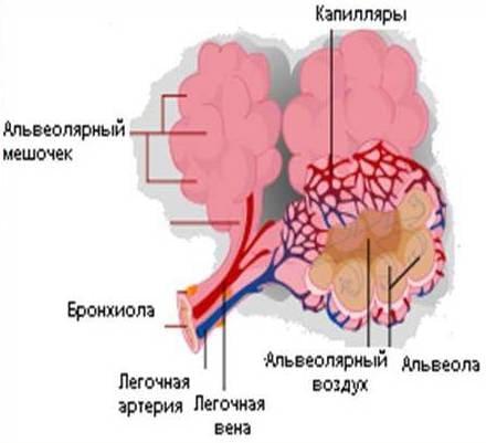 Схематичное строение ацинуса