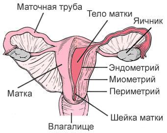 Строение матки