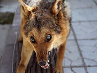 Симптомы бешенства у животных (собака)