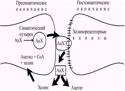 Холинергические синапсы - мишень для ботулотоксина