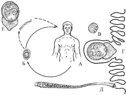 развития карликового цепня