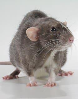 Переносчик туляремии - крыса