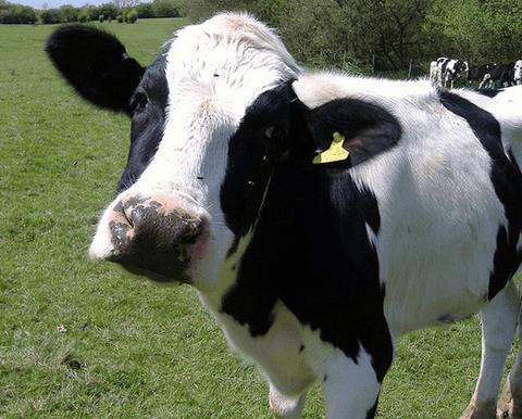 Тениаринхоз (бычий цепень)
