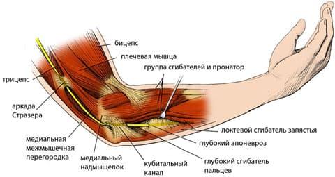 Анатомия верхней конечности