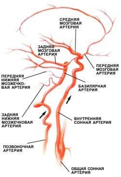 Сосудистая система (артерии и вены) головы