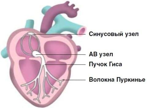 Необходимо заниматься сексом для стимуляции сердца
