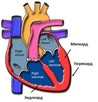Строение сердечной стенки