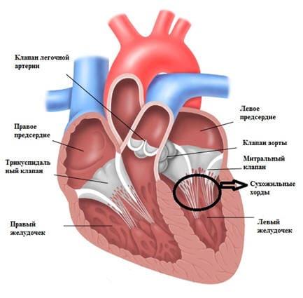 Дополнительная хорда в сердце - Причины, симптомы и лечение. МЖ.