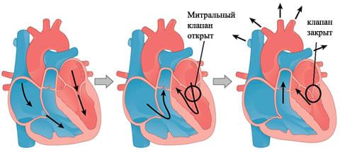 Пролапс митрального клапана сердца - Причины, симптомы и лечение ...