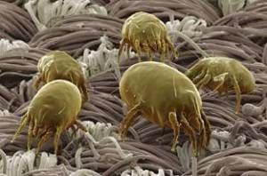 Атопическая (аллергическая) бронхиальная астма. Клещи домашней пыли