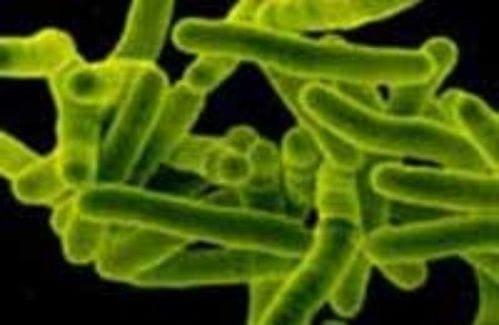 Возбудитель туберкулеза палочка Коха